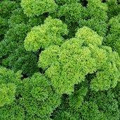 Petroselinum crispum 'Darki' [organic]