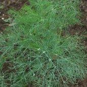 Anethum graveolens 'Green Sleeves'