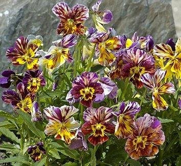 Viola cornuta 39 brush strokes 39 brush strokes viola for Viola cornuta inverno