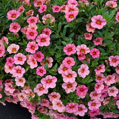 calibrachoa x 39 callie mango 39 pp20617 callie mango calibrachoa million bells plant lust. Black Bedroom Furniture Sets. Home Design Ideas