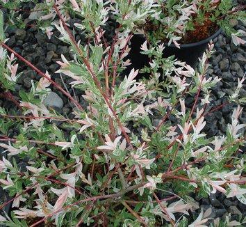 Salix integra 'Hakuro Nishiki' 4 form