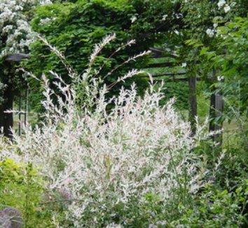 Salix integra 'Hakuro Nishiki' 6 form