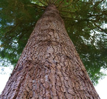 Abies grandis 11 trunk