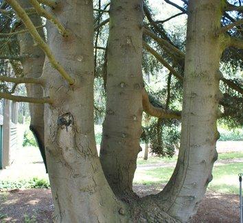 Abies pinsapo 6 trunk
