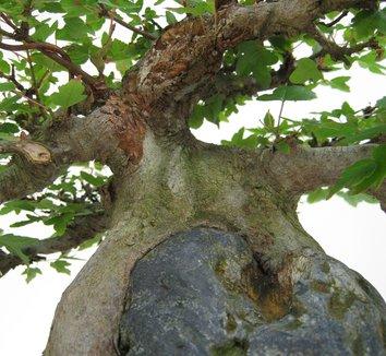 Acer buergerianum 8 trunk