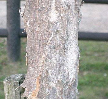 Acer buergerianum 5