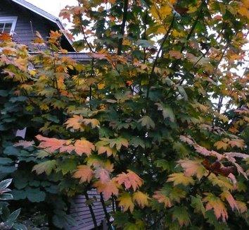 Acer circinatum 2