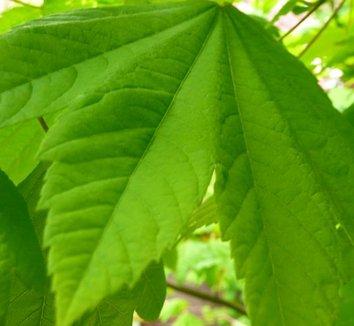 Acer circinatum 4