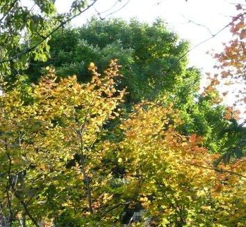 Acer circinatum 3