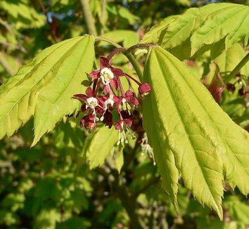 Acer circinatum 7 flower