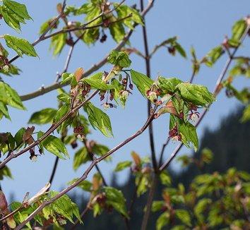 Acer circinatum 8 flower