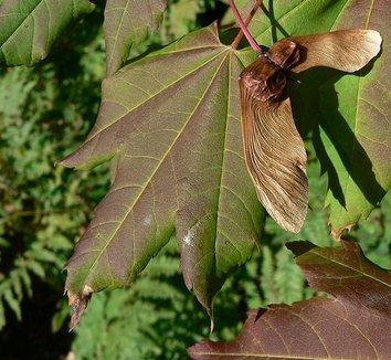 Acer circinatum 9 fruit