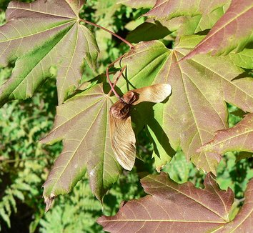 Acer circinatum 14 fruit