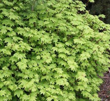 Acer circinatum 15