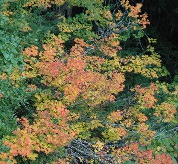 Acer circinatum 18