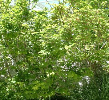 Acer circinatum 19
