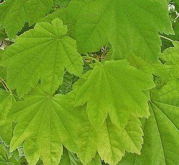 Acer circinatum 20