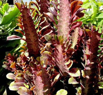 Euphorbia lactea 'Ruby' 8