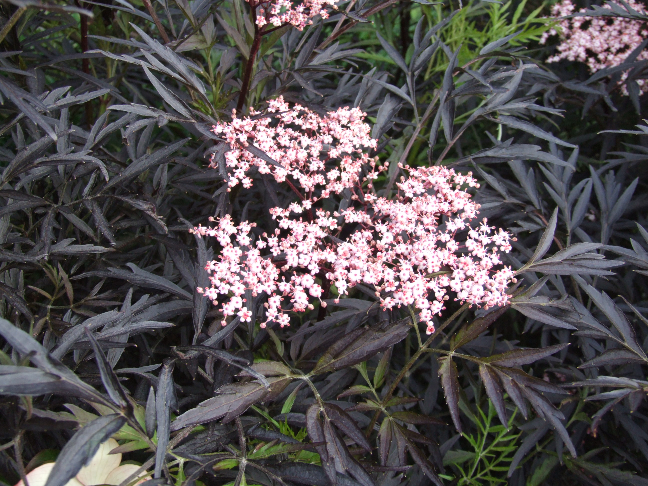 Photo #10079 | Sambucus nigra 'Black Lace' 15,575 | plant lust