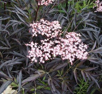 Sambucus nigra 'Black Lace' 15,575 5 flower