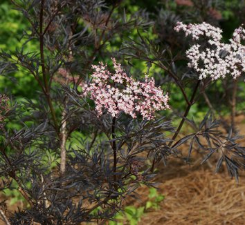 Sambucus nigra 'Black Lace' 15,575 12 flower