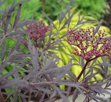 Sambucus nigra 'Black Lace' 15,575 13