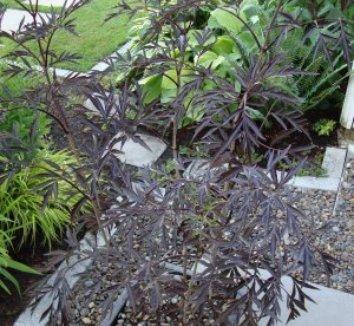 Sambucus nigra 'Black Lace' 15,575 14