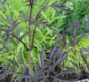 Sambucus nigra 'Black Lace' 15,575 15