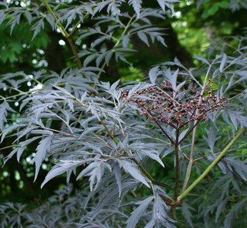 Sambucus nigra 'Black Lace' 15,575 17