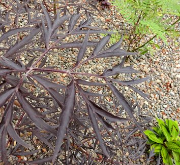 Sambucus nigra 'Black Lace' 15,575 20