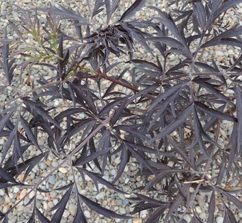 Sambucus nigra 'Black Lace' 15,575 21