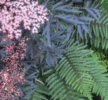 Sambucus nigra 'Black Lace' 15,575 30 flower