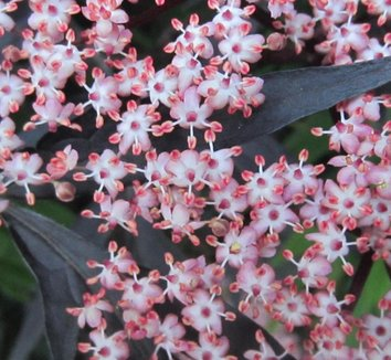 Sambucus nigra 'Black Lace' 15,575 1 flower