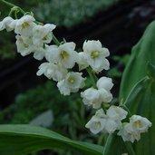 Convallaria majalis 'Flore Pleno'
