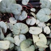 Cyclamen coum All Pewter Group