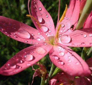 Schizostylis 'Sunrise' 4 flower
