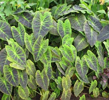 Colocasia antiquorum 'Illustris' 15