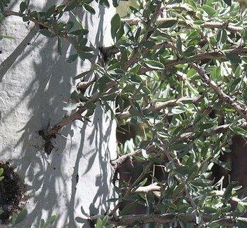 Fouquieria columnaris 2 trunk