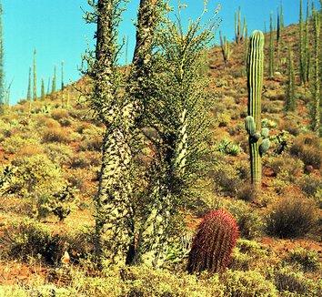 Fouquieria columnaris 6 form
