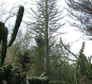 Fouquieria columnaris 10 form