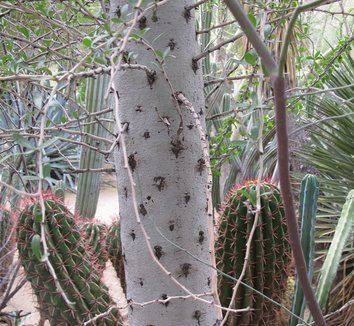Fouquieria columnaris 8 trunk