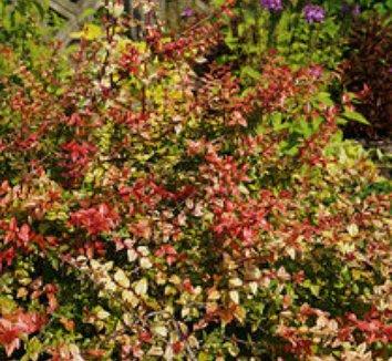 Abelia x grandiflora 'Kaleidoscope' 1