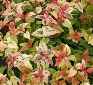 Abelia x grandiflora 'Kaleidoscope' 5