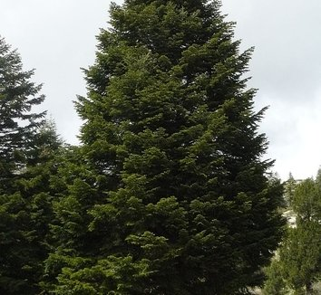 Abies cilicica 1 form