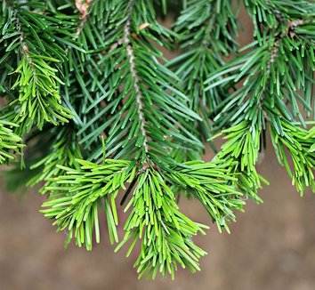 Abies sibirica 1