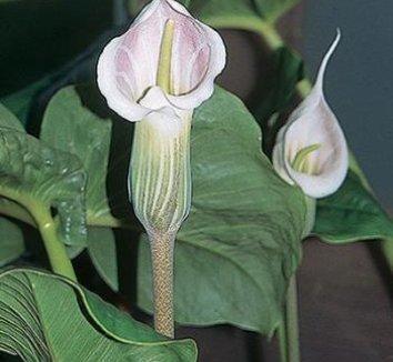 Arisaema candidissimum 1 flower