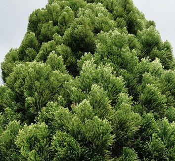Cryptomeria japonica 'Rein's Dense Jade' 1
