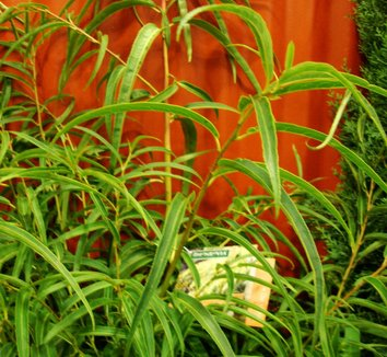 Stachyurus salicifolia 2 form