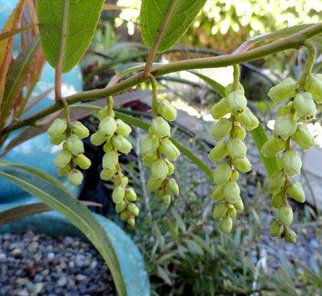 Stachyurus salicifolia 4 flower