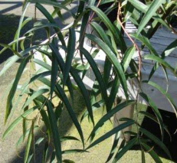 Stachyurus salicifolia 5